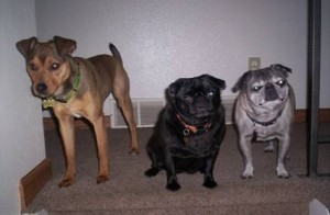 Brian's Dogs: Chevy, Oprah, and Mini