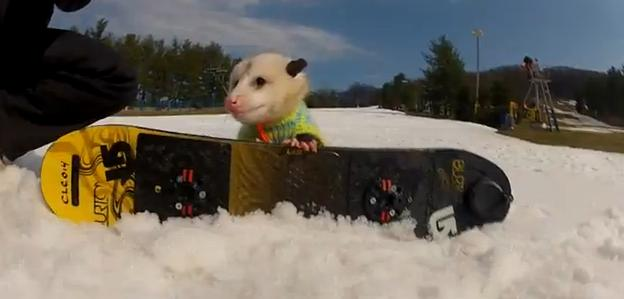 Ratatouille The Snowboarding Possum