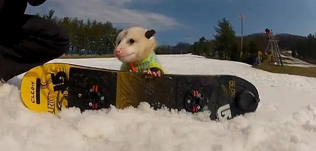 Ratatouille The Snowboarding Possum