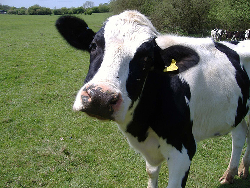 mad dairy cow