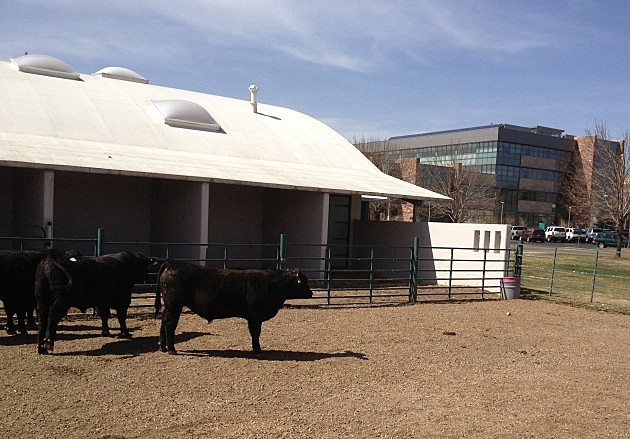 Cows on Campus at Colorado State University