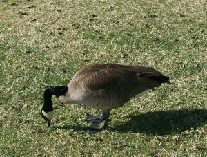 Goose Eating Grass