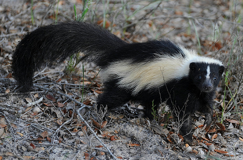 Rabid Skunks in Fort Collins