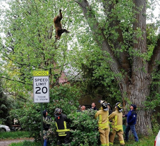 Bear Falls from Tree in Steamboat Springs