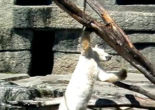 Polar Bear Falls out of tree at San Francisco Zoo