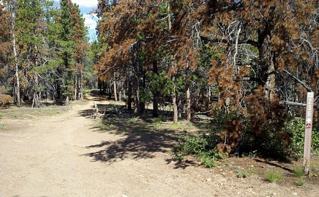 Beetle Kill in the Roosevelt National Forest
