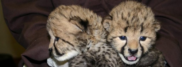 Smithsonian National Zoo Baby Cheetahs