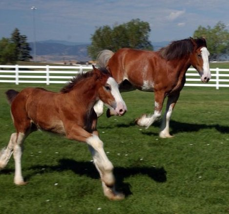 Budweiser Clydesdales at Fort Collins Tour Center
