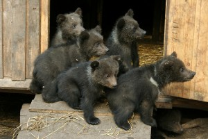 Flickr-marja-kingma-bear-cubs.jpg