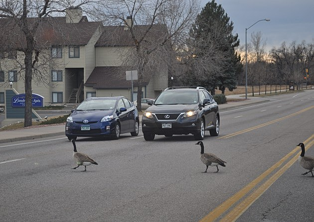 Geese Crossing the Street in Fort Collins