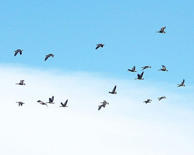Geese Flying Over Fort Collins
