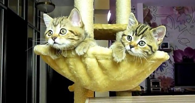 Kittens Watching Tennis Match