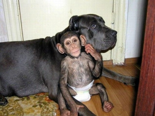 Chimp & Dog