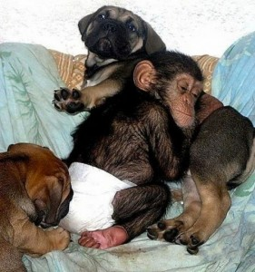Chimp laying on puppy