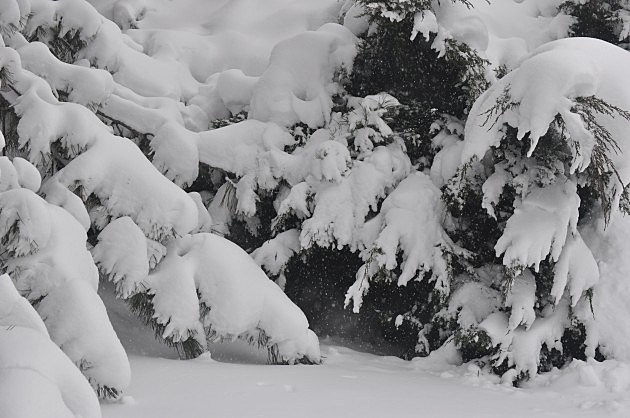 Snow Covered Bushes from Northern Colorado Spring Snowstorm