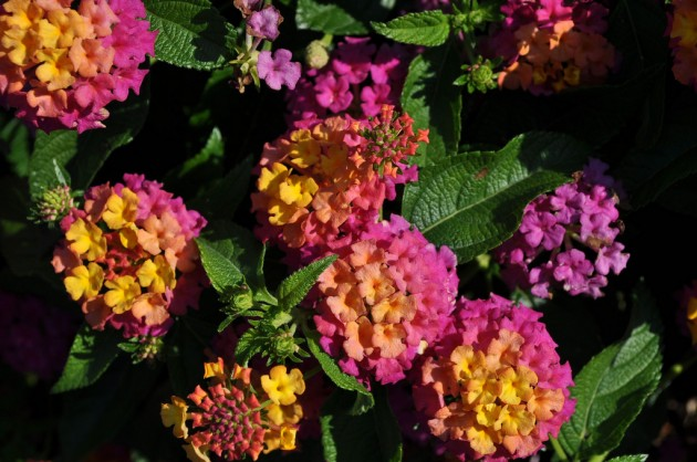 Best New Variety – Lantana 'Luscious Berry Blend' from Proven Winners