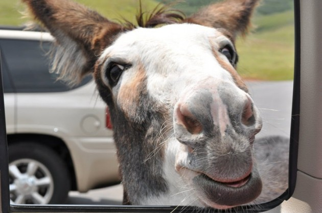 Donkey at Custer State Park in Black Hills