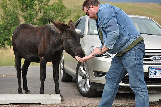 Feeding Donkey at Custer State Park in South Dakota