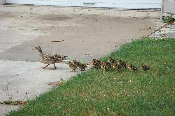 Quack Quack Don't Step on the Crack