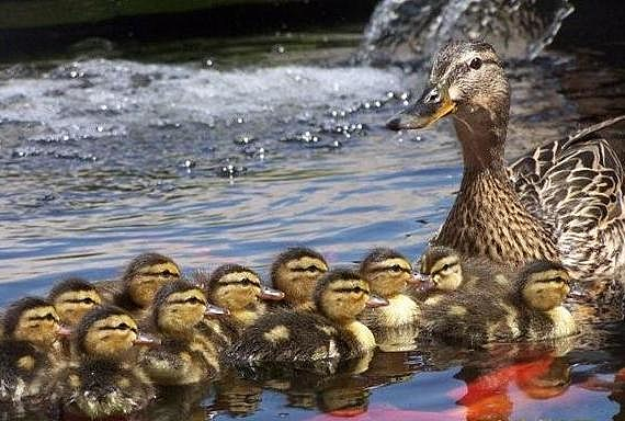Mamma Duck and Her 12 Babies