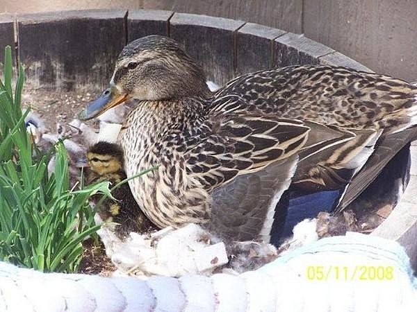 Mama Duck on her babies in the Whiskey Barrel