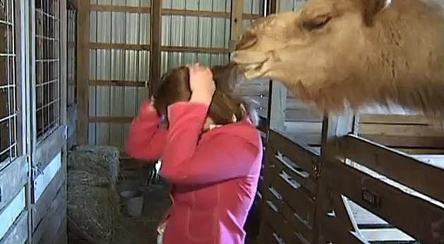 Camel Attacks Reporter
