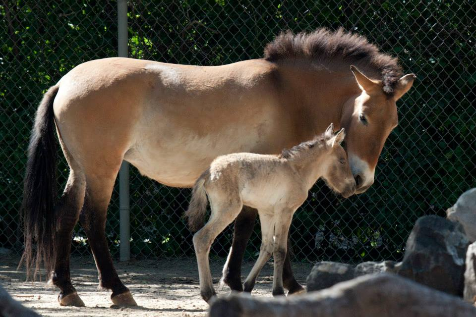 Przewalski's horse born at Denver Zoo with Mom