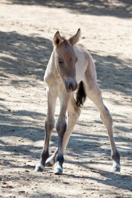 Przewalski's horse born at Denver Zoo