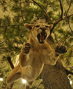 Cougar jumping out of tree at new Cabela's in Thornton, CO