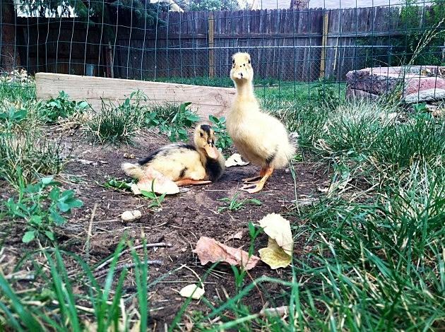 Ducks in yard