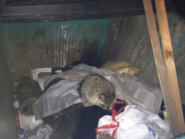 Raccoon in Trash Dumpster