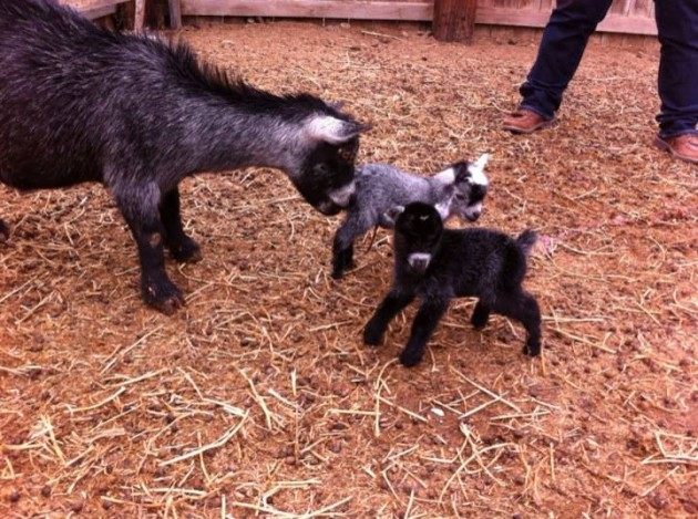 Mamma and Baby Goats