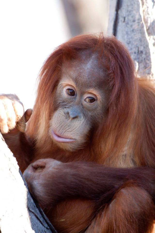 Hesty The Orangutan