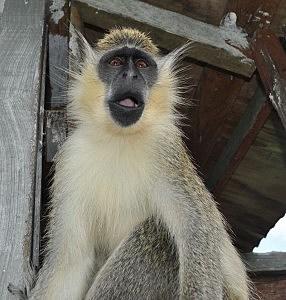 Pet Monkey in Barbados