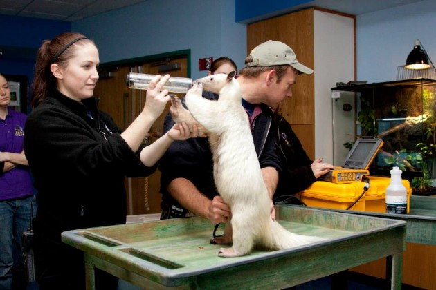Anteater Rio receives ultrasound at the Denver Zoo