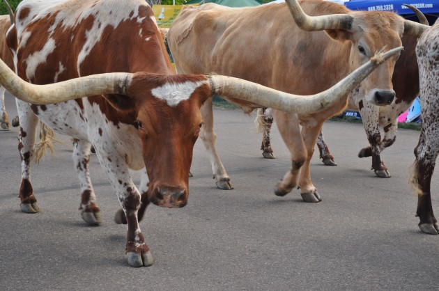 Longhorn cattle in Daily Greeley Stampede Parade