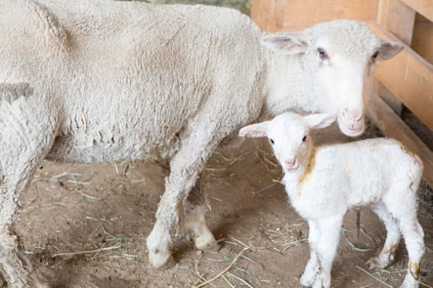 Baby Lamb and Mother