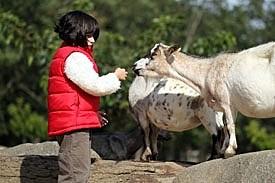 Girl feeds goat