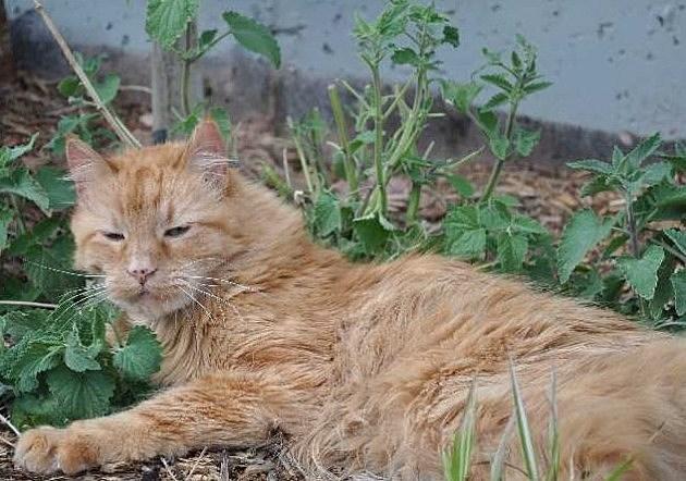 Cat laying on catnip