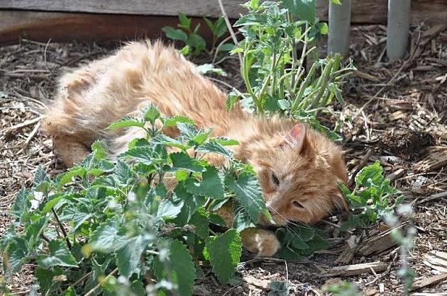 Cat loving catnip plant