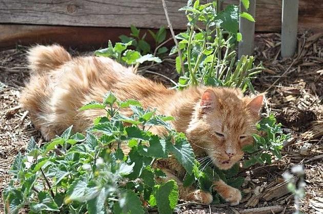 Cat going crazy for catnip
