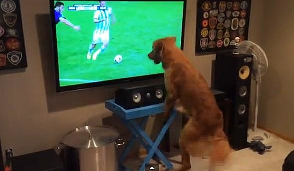 Dog Watching World Cup Soccer