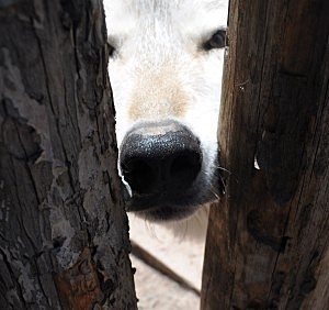 Wolf peeks through fence at WOLF Sanctuary