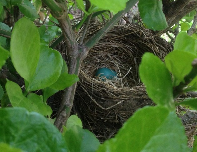Blue Egg in Nest at Todd's House
