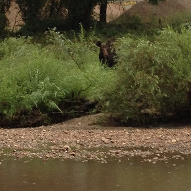Moose spotted near Poudre River in North Fort Collins