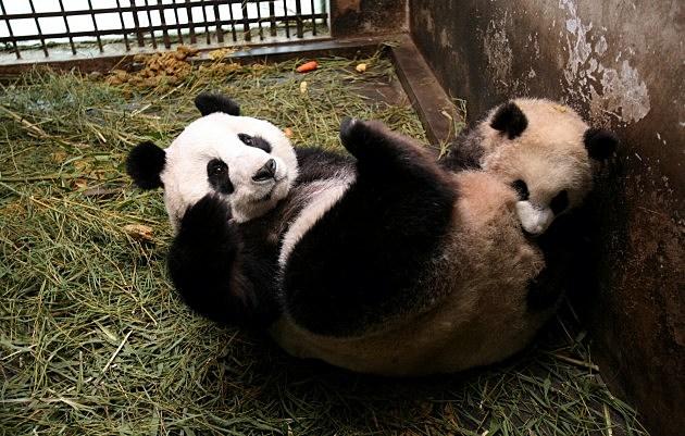 Baby Giant Pandas