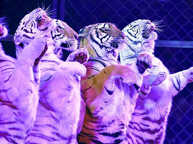Jordan World CIrcus Tigers