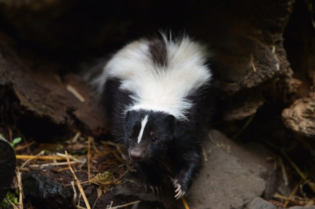 Skunk - This skunk does not have rabies