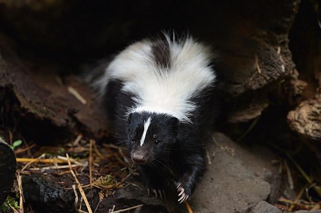 Skunk - This skunk does not have rabies