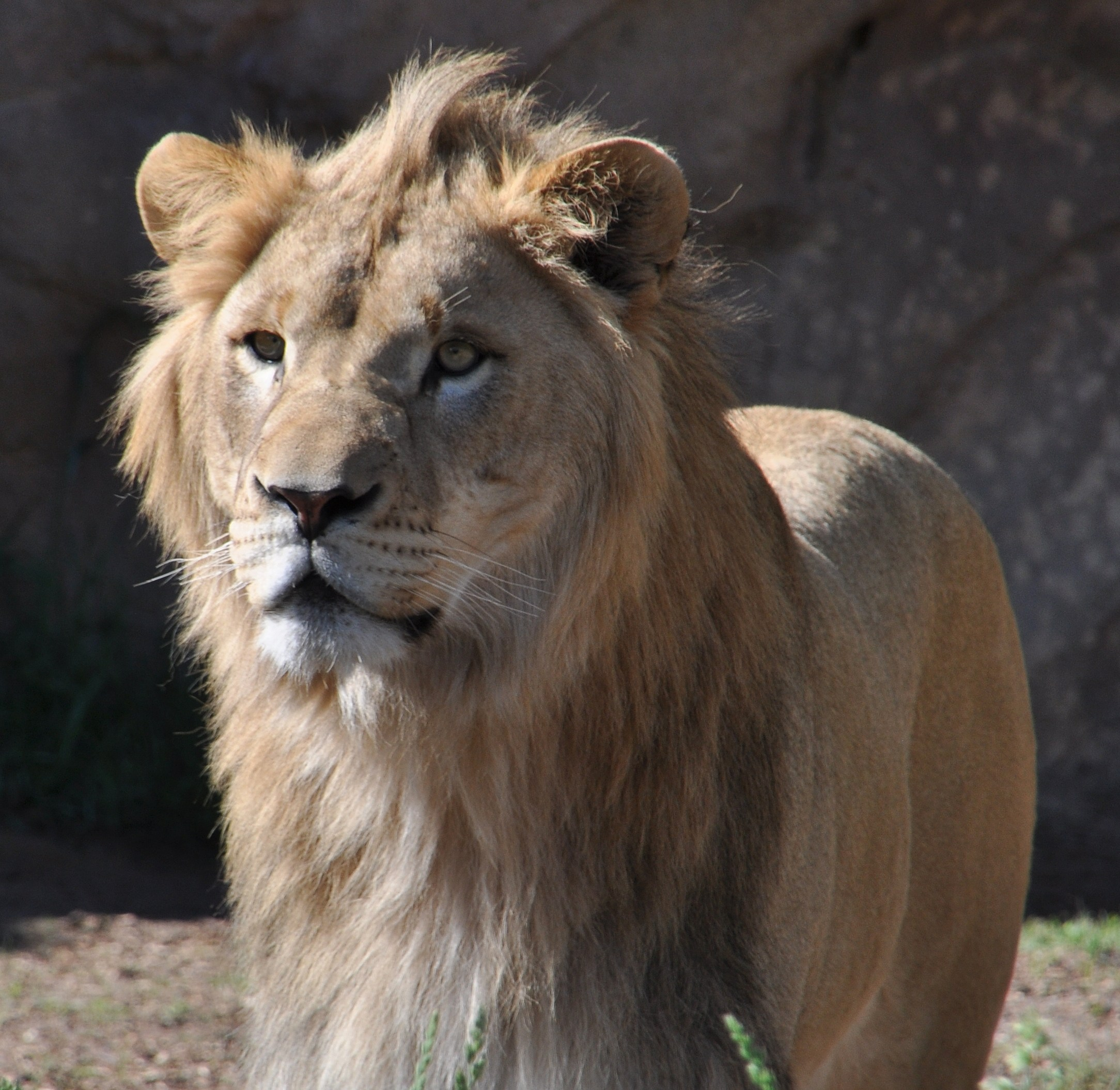 African Lion at Denver Zoo